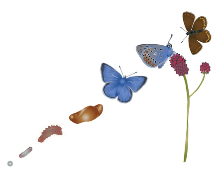 common blue: Life cycle of common blue