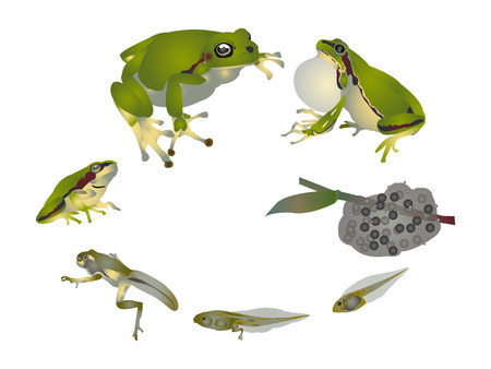 tadpole: Life cycle of European tree frog Illustration