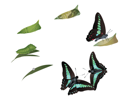Life cycle of common bluebottle butterfly