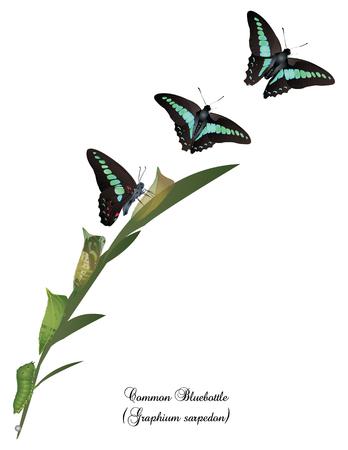 Ciclo de vida de la mariposa común bluebottle