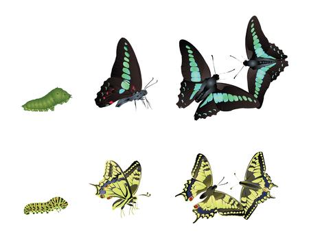 in common: swallowtail butterflies Illustration