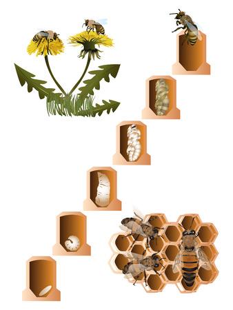 Life cycle of European honey bee