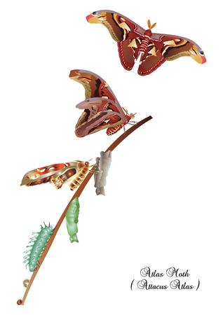 metamorphosis: Life cycle of atlas moth