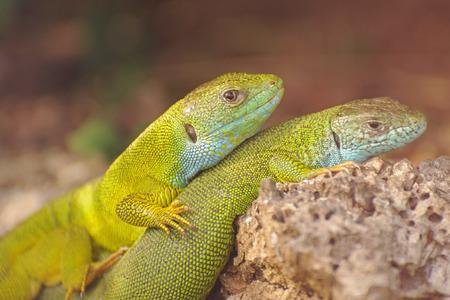 european: European green lizards