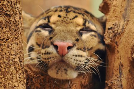 himalayan cat: Clouded leopard