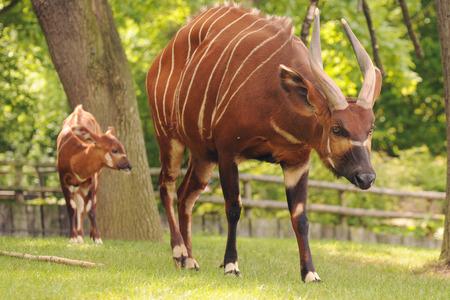 bongo: antelope bongo