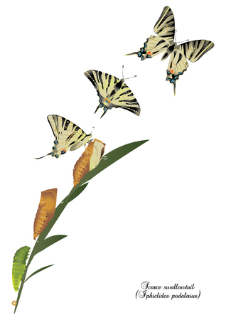 swallowtail: Life cycle of scarce swallowtail
