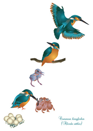 vertebrate: Life cycle of common kingfisher