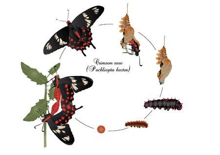 pupa: Life cycle of crimson rose