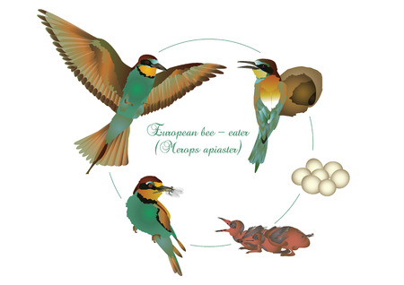 offspring: Life cycle of European bee-eater Illustration