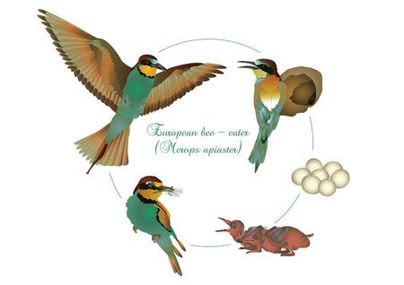 european: Life cycle of European bee-eater Illustration
