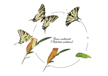 swallowtails: scarce Swallowtails Illustration