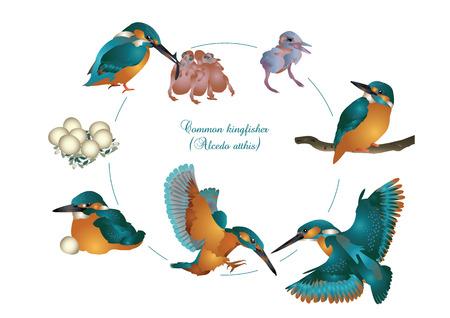 Cycle de vie d'kingfisher commun Banque d'images - 59794660