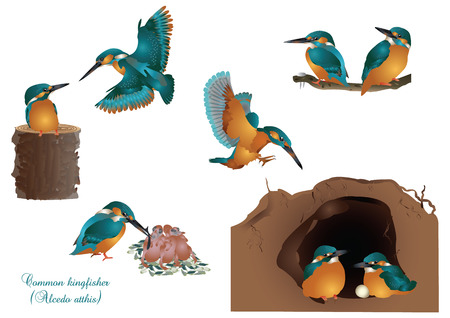 in common: common kingfisher