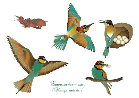 european: European bee-eater