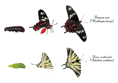 swallowtails: Swallowtails Illustration