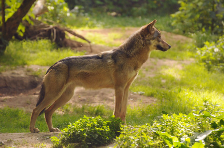 canid: Gray wolf