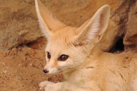 canid: Fennec fox