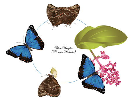 pupa: Life of Blue morpho