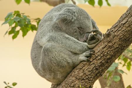 Koala sleeping in Wien ZOO 写真素材
