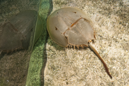 Atlantic horseshoe crab 写真素材