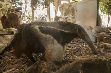 Giant anteater 写真素材