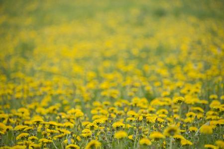 Dandelion meadow 写真素材
