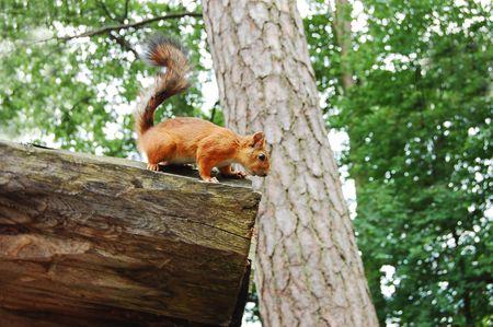 nosey: Nosey Squirrel Stock Photo