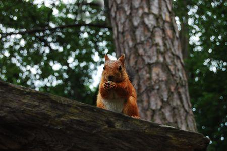 nosey: Squirrel cracking a nut in Seurasaari park, Helsinki