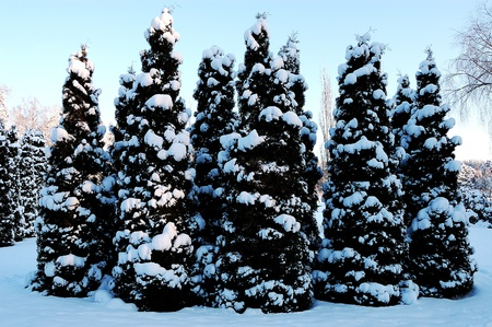 Small Christmas trees covered with snow photo