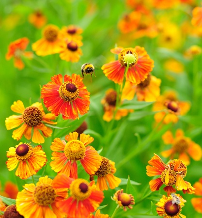 Bumble-bee flying in Helenium flowers Stock Photo