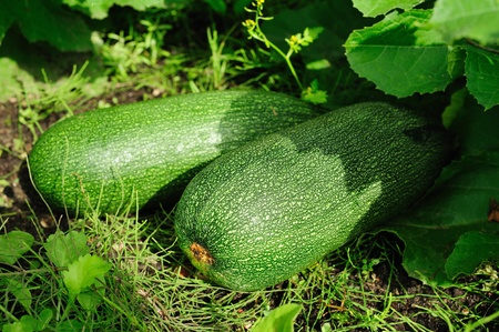 marrow squash: Two vegetable marrows on a garden-bed