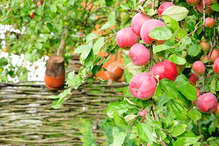 Country orchard with fructifying apple-tree photo