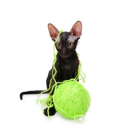 gato jugando: Negro Don Sphynx gatito con un puño de escota Foto de archivo
