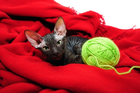 clew: Sphynx kitten huddled up in a blanket Stock Photo