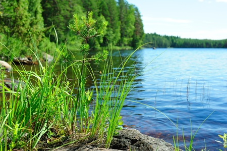 Lake, forest and young pine-tree growing from the stone