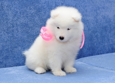 Fluffy white puppy of Samoyed  dog  also known as Bjelkier  photo