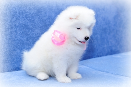 Pretty Samoyed  or Bjelkier  puppy with her tongue out Stock Photo - 13798137