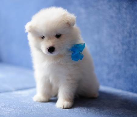 siberian samoyed: Pretty Samoyed  or Bjelkier  puppy with a blue ribbon