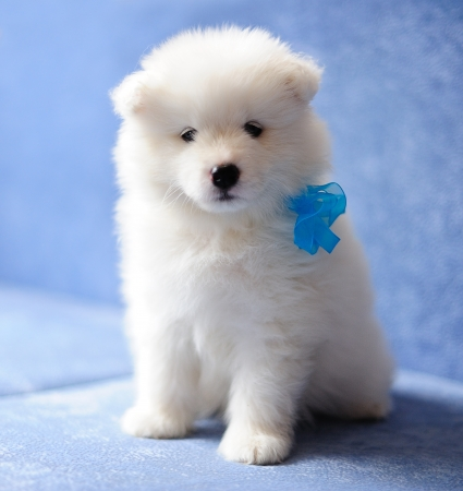herder: Pretty Samoyed  or Bjelkier  puppy with a blue ribbon