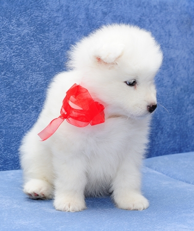 Cute Samoyed  or Bjelkier  puppy with a red ribbon photo