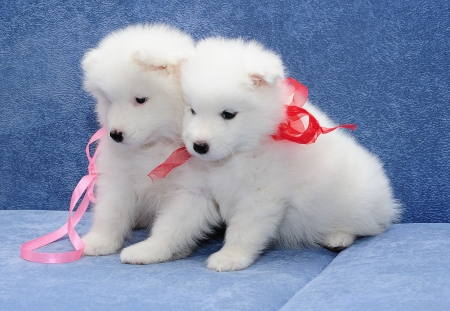 Two funny puppies of Samoyed dog  or Bjelkier  snuggling up to one another photo
