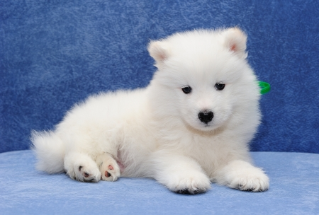 Cute Samoyed  or Bjelkier  puppy looking into the camera