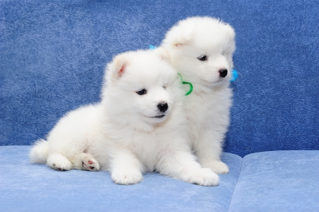 Cute puppies of Samoyed dog  also known as Bjelkier  photo