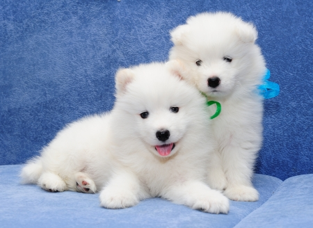 Two funny puppies of Samoyed dog (also known as Bjelkier), one with tongue out