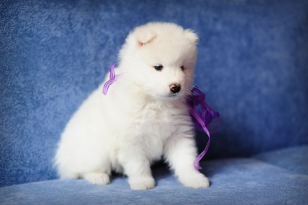 Cutest smiling Samoyed (or Bjelkier) puppy with a purple ribbon Stock Photo - 13798190