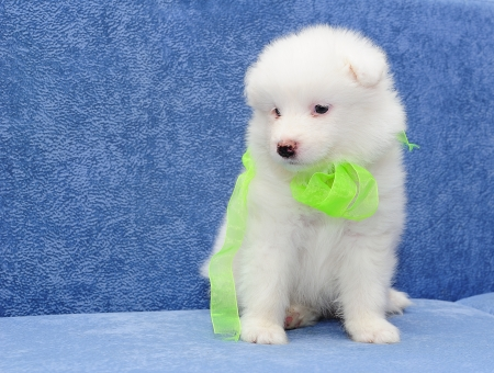 Fluffy white puppy of Samoyed dog (or Bjelkier) with a bright lemon ribbon Stock Photo - 13798185