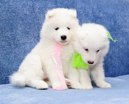 Two funny puppies of Samoyed dog (also known as Bjelkier) photo
