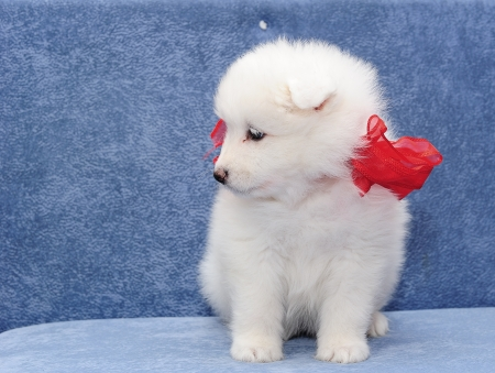 Fluffy white puppy of Samoyed dog (or Bjelkier) looking aside photo