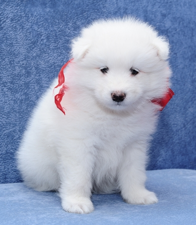 siberian samoyed: Fluffy white puppy of Samoyed dog (or Bjelkier) looking into the camera